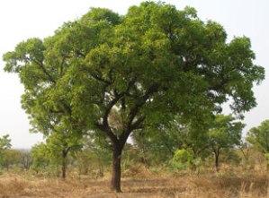 shea-butter-tree